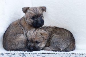Pup kopen Foto 7